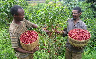 Ethiopian Coffee Farmers